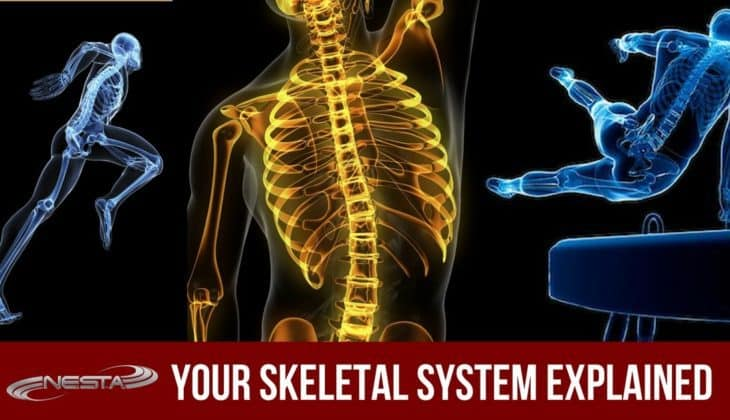 Your Skeletal System Explained